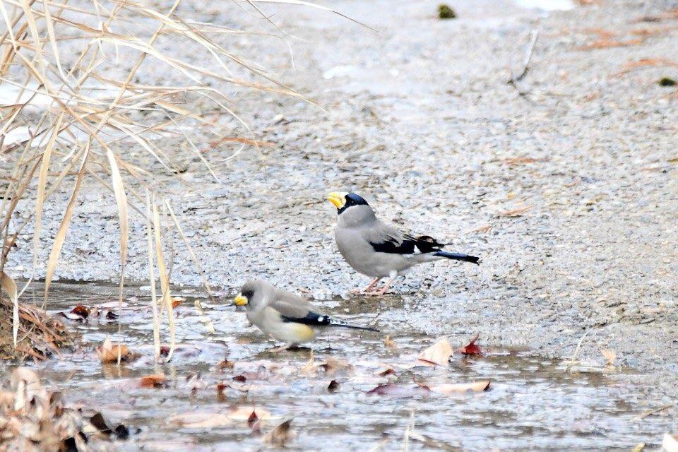 대전에 나타난 큰밀화부리 앞에 있는 새는 밀화부리이며 뒤에 있는 새가 큰밀화부리이다.