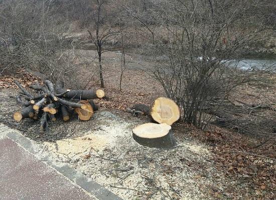 남동구가 장수천 자전거도로 확장 공사를 하면서 수십년 된 벚나무를 베어버려 논란이 일고 있다.