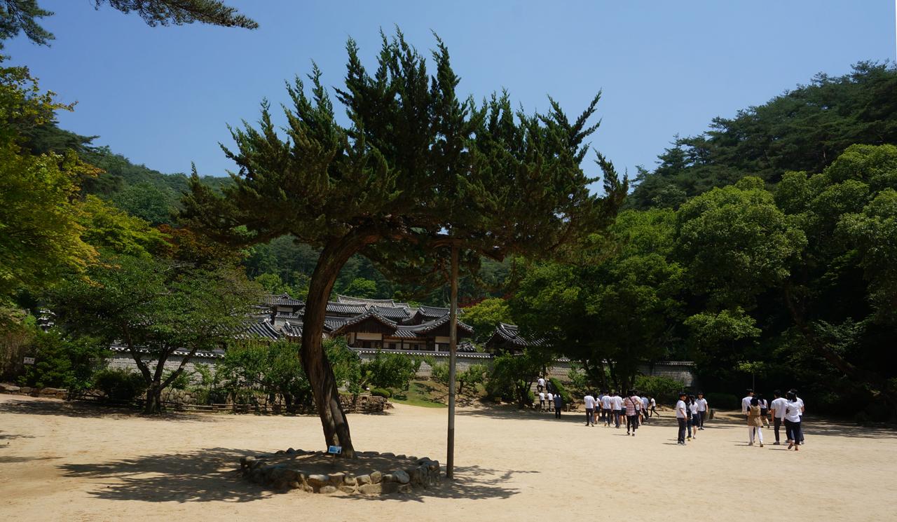 퇴계 이황의 매화사랑은 유멸하다. 매화사랑에 그치지 않고 손수 많은 나무들을 심었다고 한다. 서원 주변은 물론 서원 곳곳에 여러 종류의 나무들이 자라 여름에도 시원하다.