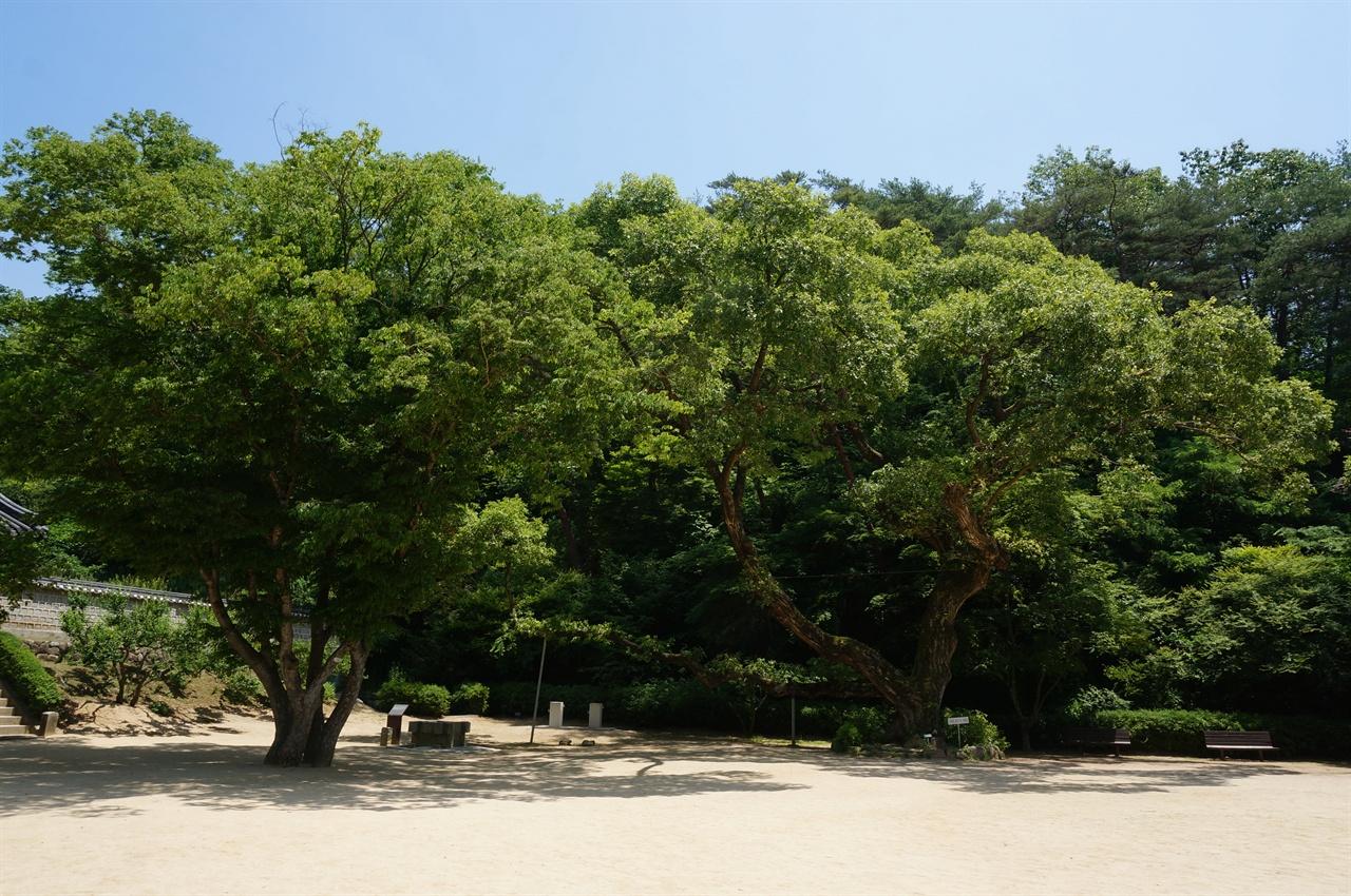 도산서원 뜰에는 노거수 왕버들나무가 많다. 식목왕 정조의 지시로 심어진 것들로 알고 있다.
