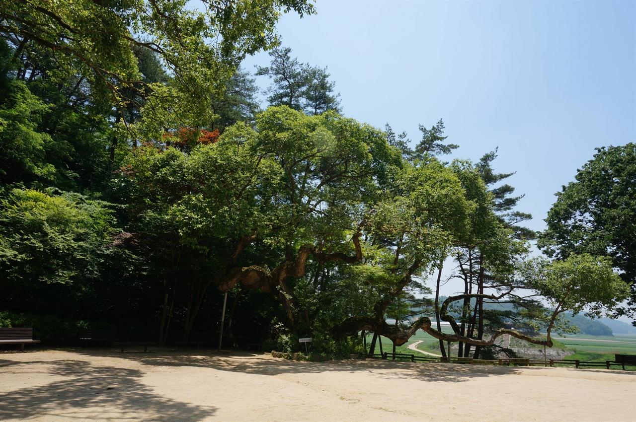 도산서원 다른 부분이다. 앞의 굵은 나무는 살아생전 많은 나무을 심은 식목왕 정조의 지시로 심어진 왕버들나무. 나무 뒤로 보이는 풍경이 시사단과 도산서원 사이에 흐르는 강이다.