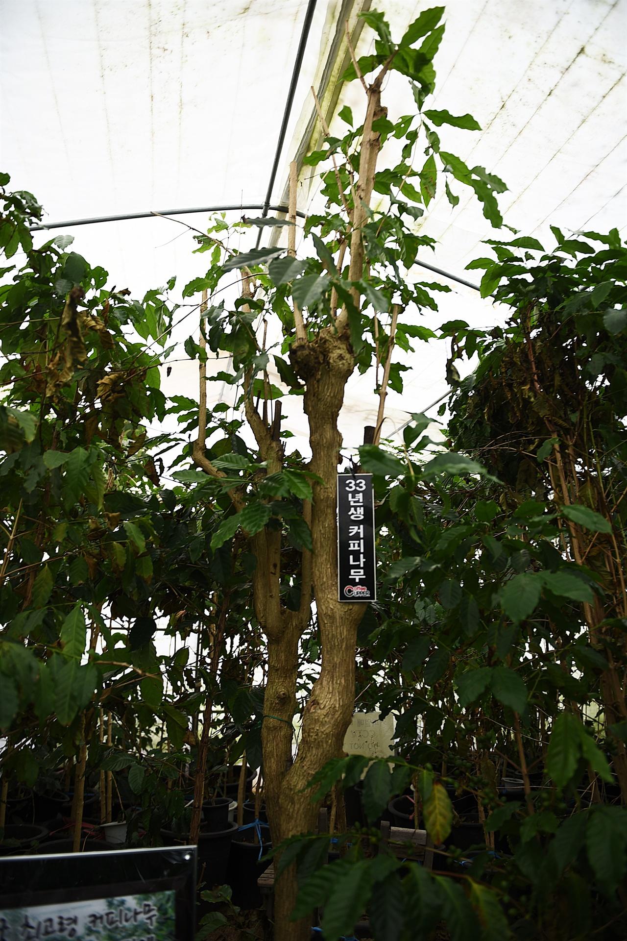 33년생 커피나무  우리나라에서 가장 먼저 심어진 커피나무. 커피박물관에 있다.