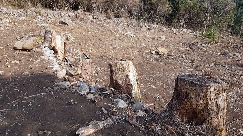 감염된 소나무 제거모습 재선충병 감염된 소나무제거작업현장