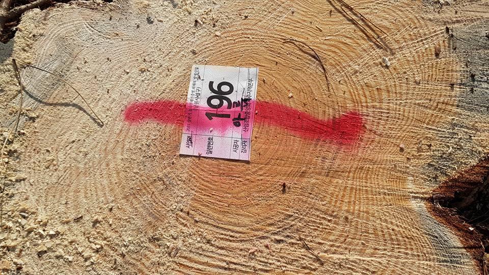 제거된 소나무 표식지 재선충병 감염된 소나무제거작업현장