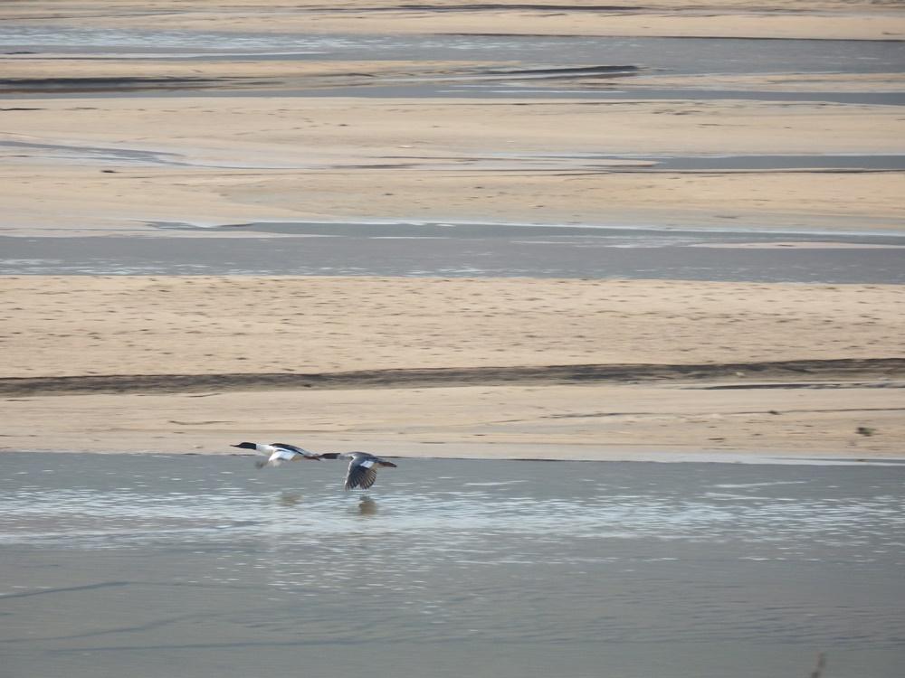 모래강 내성천을 찾은 비오리 한쌍이 수면 위를 날고 있다. 한 폭의 그름이다.