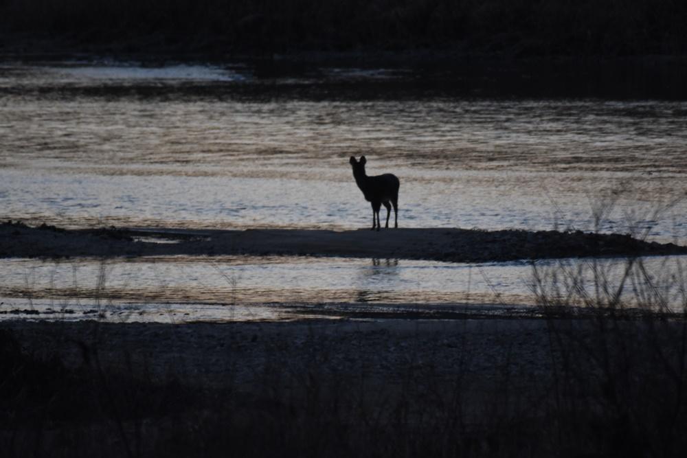 고라니 한 마리가 물을 마시기 위해 내성천을 찾았다. 이처럼 내성천을 찾는 수많은 다양한 동물들이 있다.