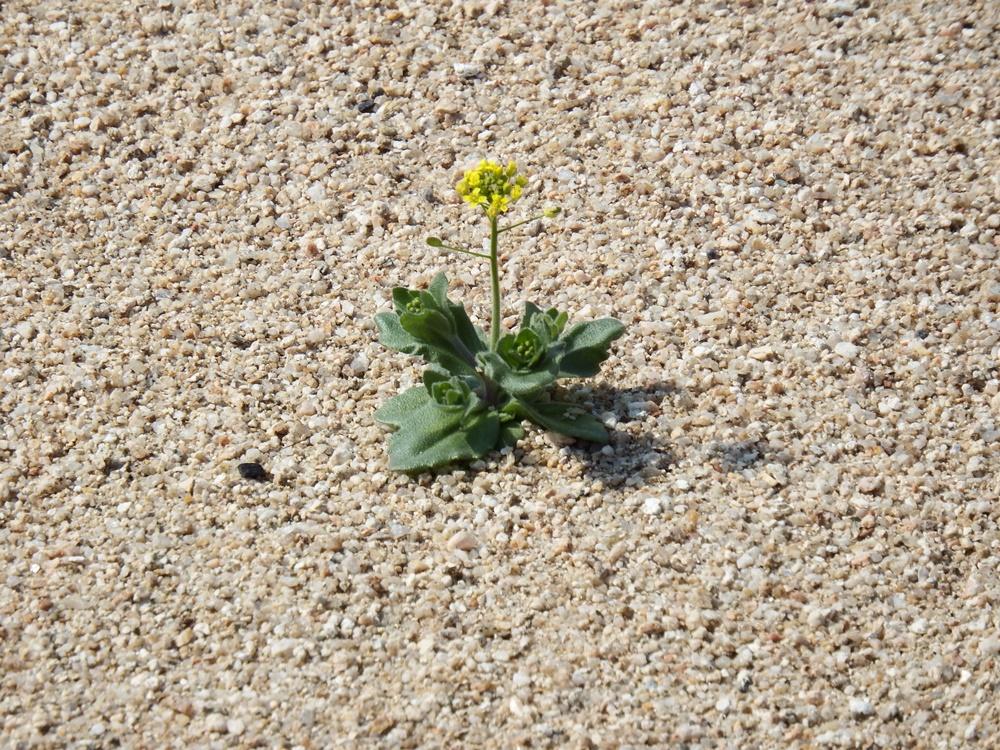모래에서도 꽃은 핀다. 이곳이 내성천이다. 영주댐 허물고야 말 내성천 회생의 희망의 싹이다.