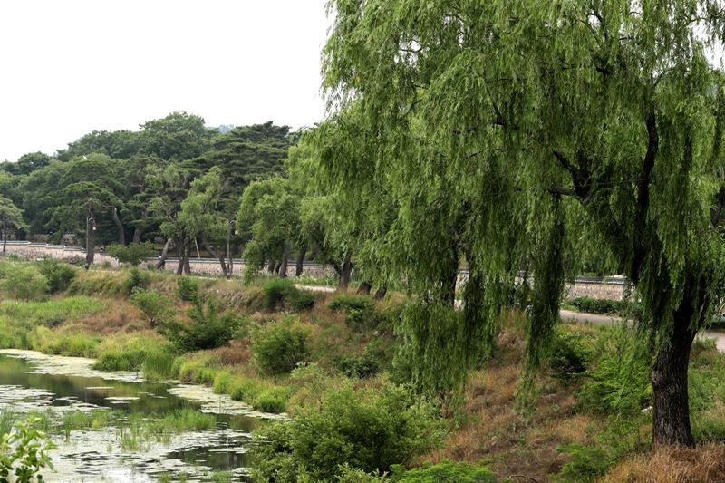 천경림이 있었다고 추정되는 경주 남천 인근. 아름드리 버드나무들이 그리움을 향해 머리칼을 드리운 채 천년 세월을 지켜보고 서 있다.