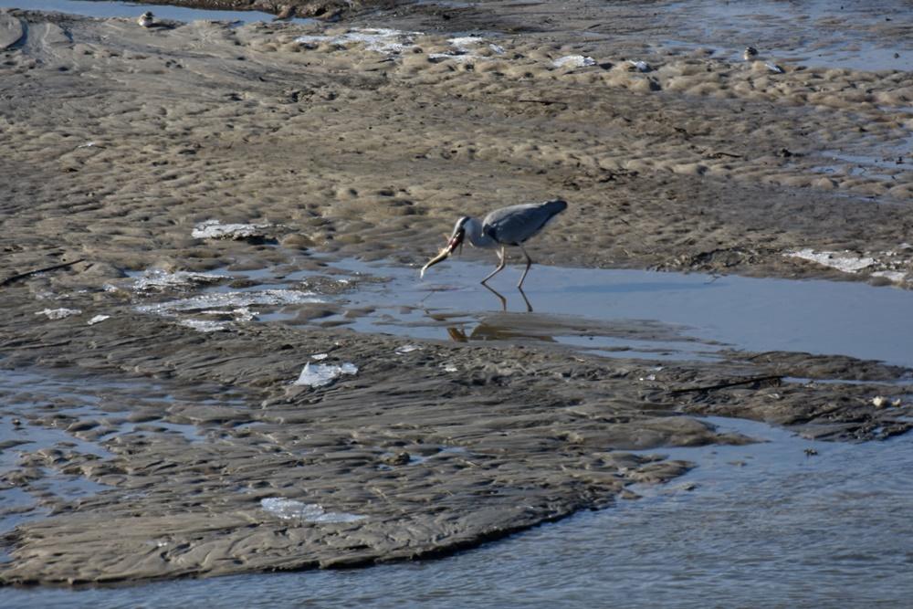 다시 물밖으로 드러난 회천의 모래톱에서 왜가리 한 마리가 자신의 주둥이보다 더 큰 잉어 한 마리를 사냥해 삼키려 하고 있다. 자연의 질서가 다시 잡혀가고 있다.
