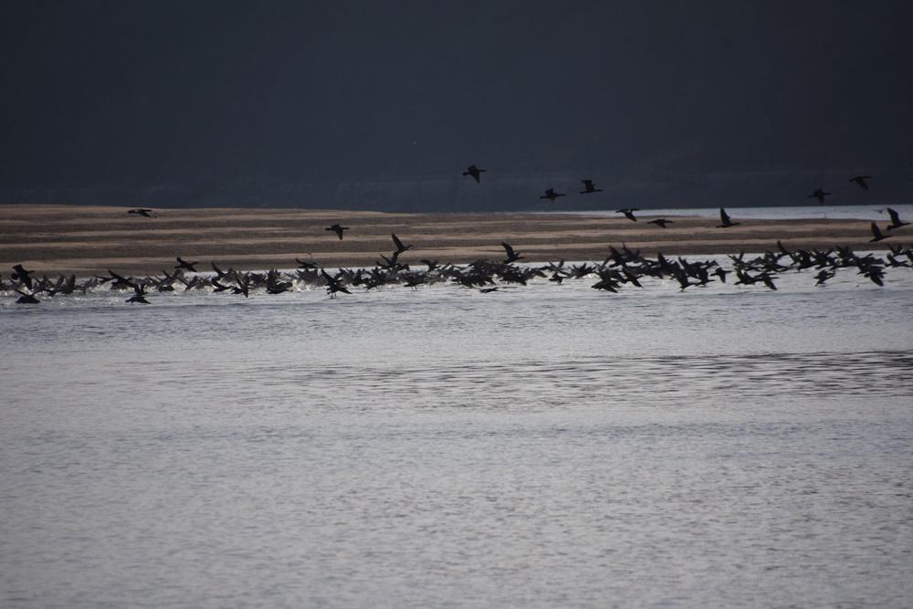 낙동강 합천보 수문개방 후 드러난 모래톱 위에서 새들이 춤을 추고 있다. 합천보 수문이 열리자 생명이 역동하고 있다.