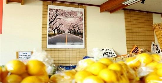 일본 후쿠시마현 이와키시의 한 가게에 걸린 요노모리의 벚꽃 사진. 미야모토 대표 등이 2012년 찍은 것을 패널로 만들어 원전 피해지역 출신이 많이 오가는 이곳에 기증했다.