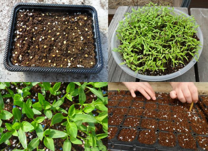 가식모종법 씨앗을 골고루 뿌린후 떡잎이 나오고 본잎이 나올 무렵 모종판으로 한개씩 옮겨심는다