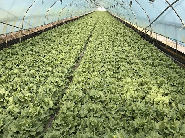 합천군 청덕면 앙진리 광암들의 수막재배 방식으로 재배하고 있는 양상추밭의 모습이다. 하루 한 동당 150톤 정도의 지하수를 쓴다 한다.