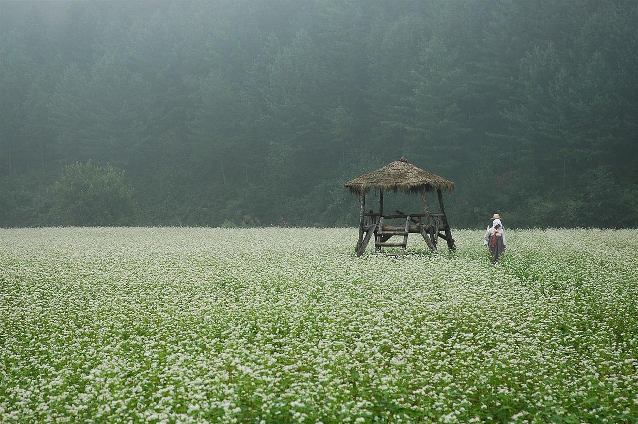 어느 9월 안개 낀 아침의 메밀꽃밭  이효석의 소설 <메밀꽃 필 무렵>의 고장 봉평은 매년 9월초에 메밀꽃축제를 열고 있다. 소금을 뿌린 듯 하얀 메밀꽃밭이 인상적이다