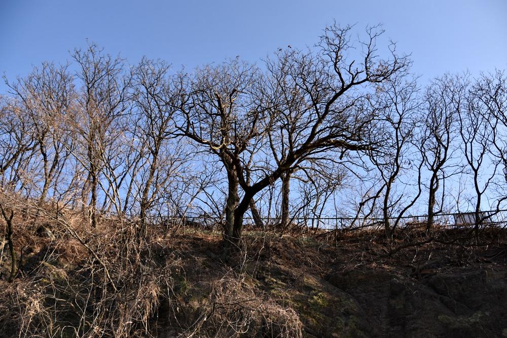 화원동산의 모감주나무군락이 열을 지어 늘어서 있다.