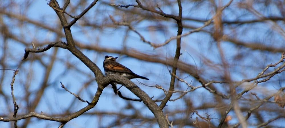 화원동산의 모감주나무에 앉아 쉬고 있는 개똥지빠귀의 모습. 화원동산과 그 인근에는 텃새와 철새를 비롯한 다양한 새들이 찾아온다.