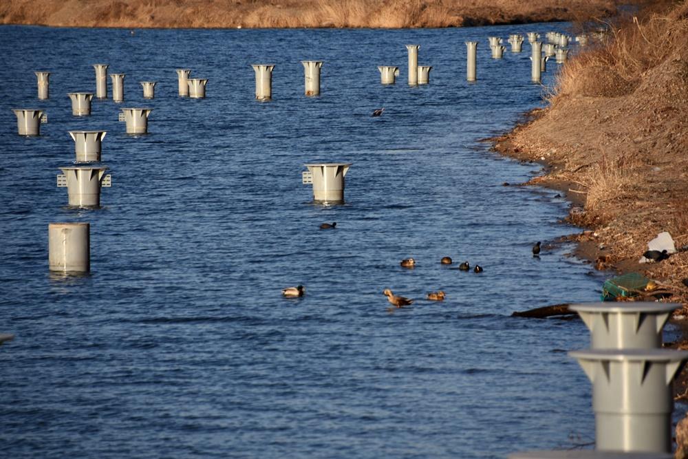 철새 파일이 박힌 낙동강변에 천둥오리와 흰뺨검둥오리와 물닭 같은 다양한 철새들이 놀고 있다. 이곳에 탐방로가 놓이고 사람이 드나들면 이들은 더이상 이곳을 찾을 수가 없다.