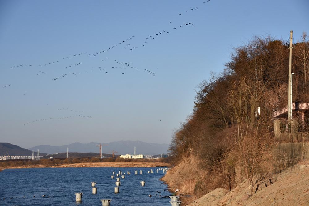 탐방로 조성 현장 위로 철새들이 무리지어 날고 있다. 이처럼 달성습지에는 다양한 철새들과 텃새들이 살고 있다.