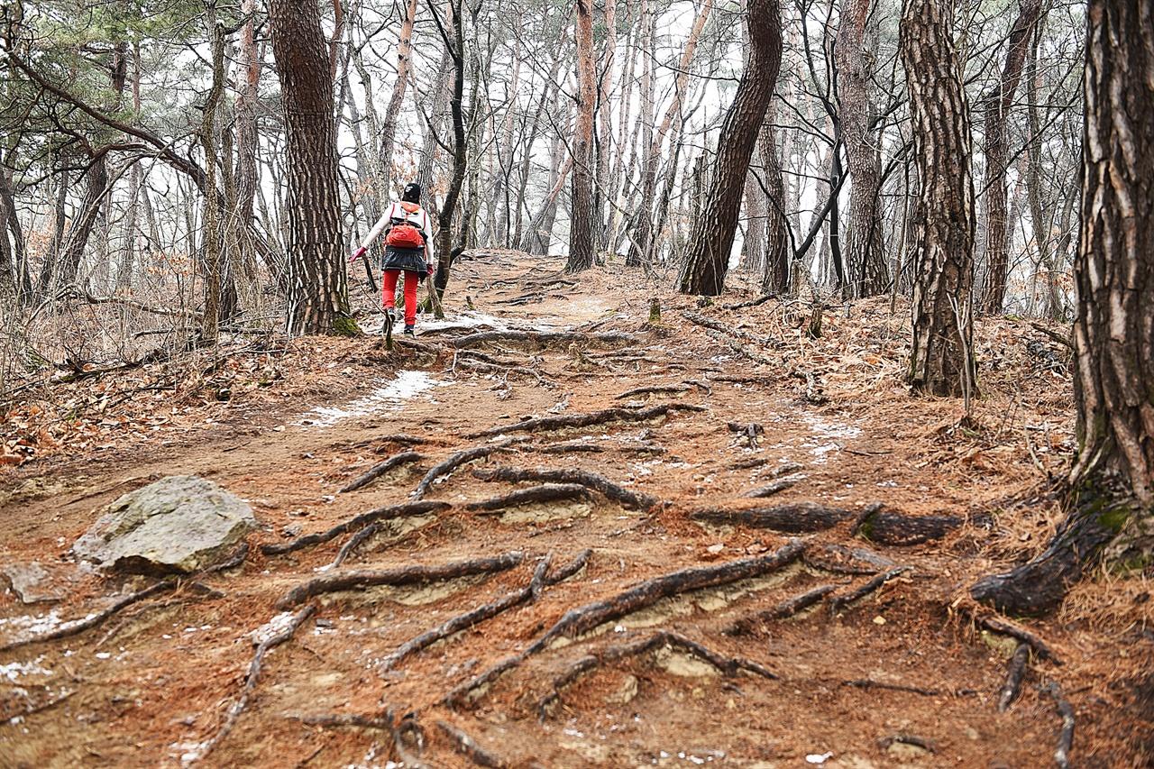 소금산 등산로  출렁다리에서 소금산으로 올라가는 길. 나무 뿌리가 그대로 드러나 있어 이채롭다.
