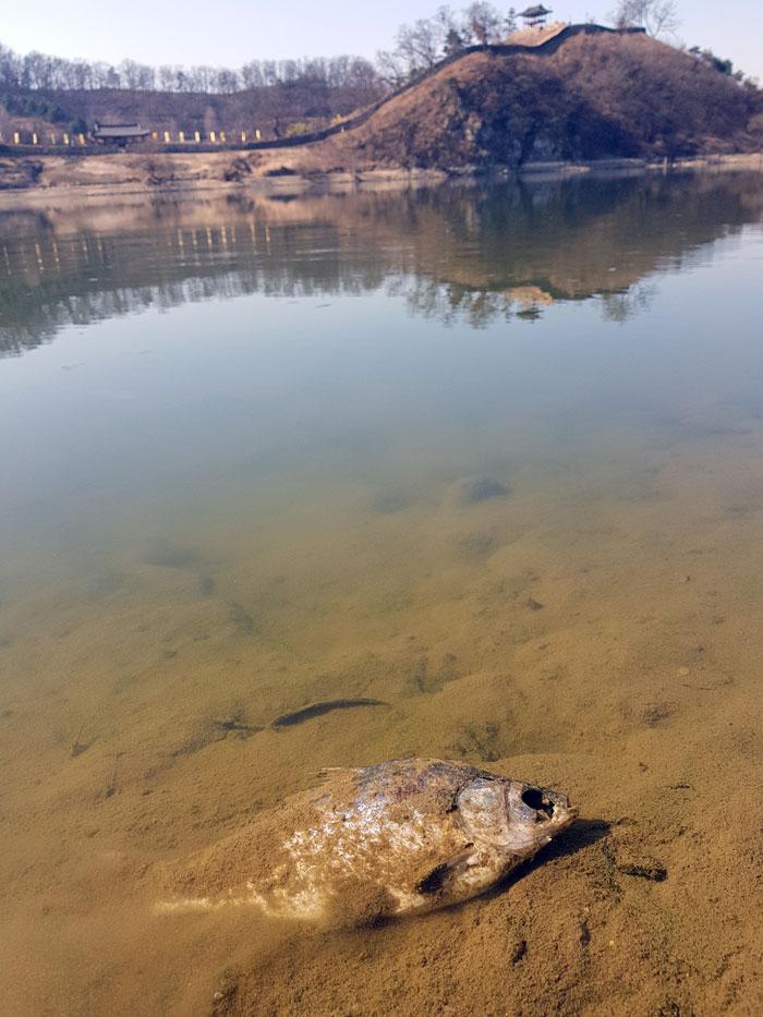 유네스코 세계문화유산 사적 제12호 공산성 앞 강물에 죽은 물고기가 둥둥 떠다니고 있다.