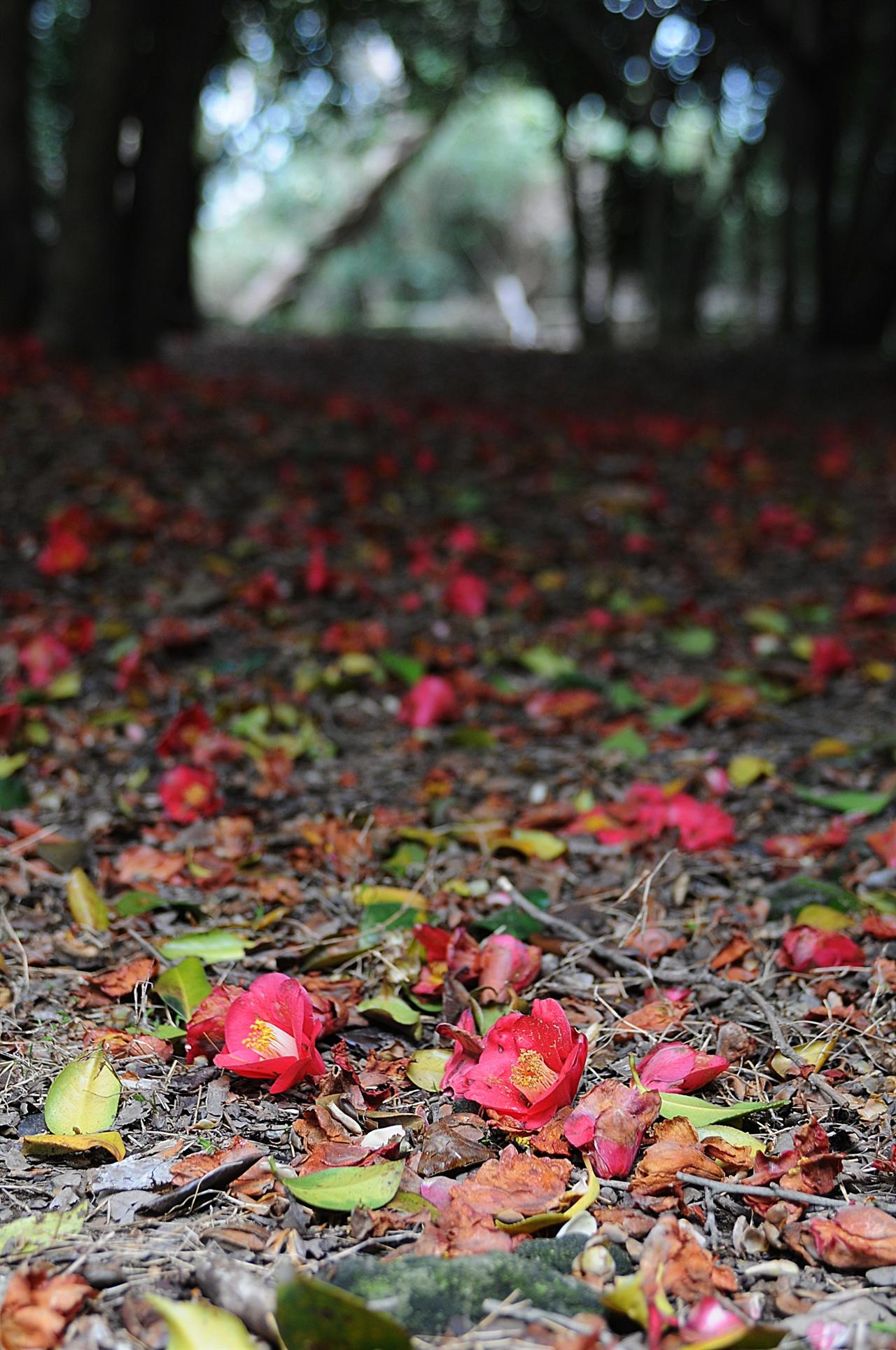 오동도 동백숲 3월 하순이면 동백숲 바닥에는 송이째 툭 떨어진 동백꽃이 붉은 융단을 이룬다.