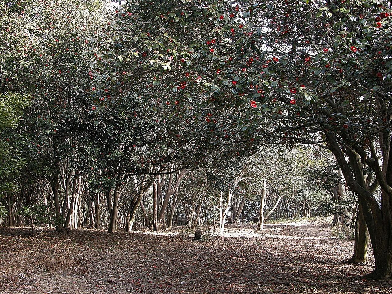 오동도 동백숲 3월 중순 절정기의 오동도 동백숲에는 나무와 땅바닥 모두에 붉은 빛이 가득하다.