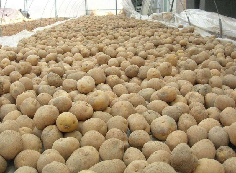 씨감자의 싹을 틔우기 위해 반그늘의 비닐하우스에 펼쳐져 있다.