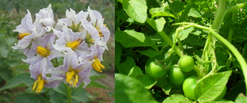 감자는 꽃이피고 열매를 맺었지만 종자개량으로 열매를 보기는 쉽지않다