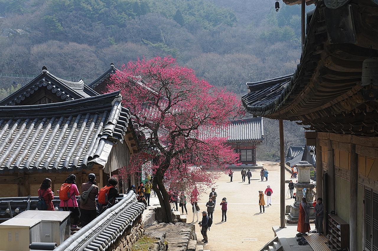 화엄사 흑매  붉은색 홍매로서, 많은 사람들의 사랑을 받는 매화나무이다. 각황전 뒤편에서 바라본 모습