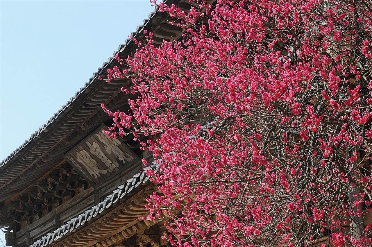 화엄사 흑매  각황전을 비롯한 화엄사의 숱한 문화유산들은 3월 하순에만은 주인공의 자리를 흑매에 넘겨준다.