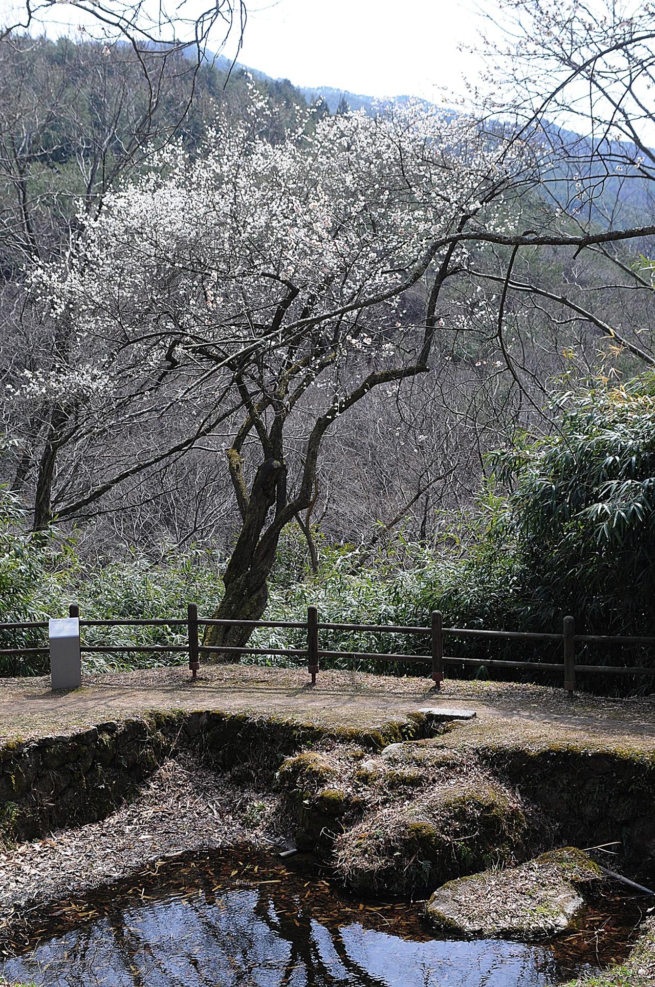 길상암 야매 길상암 바로 아래에 있는 천연기념물 매화나무. 힘차게 뻗어나간 나무 줄기가 인상적이다.