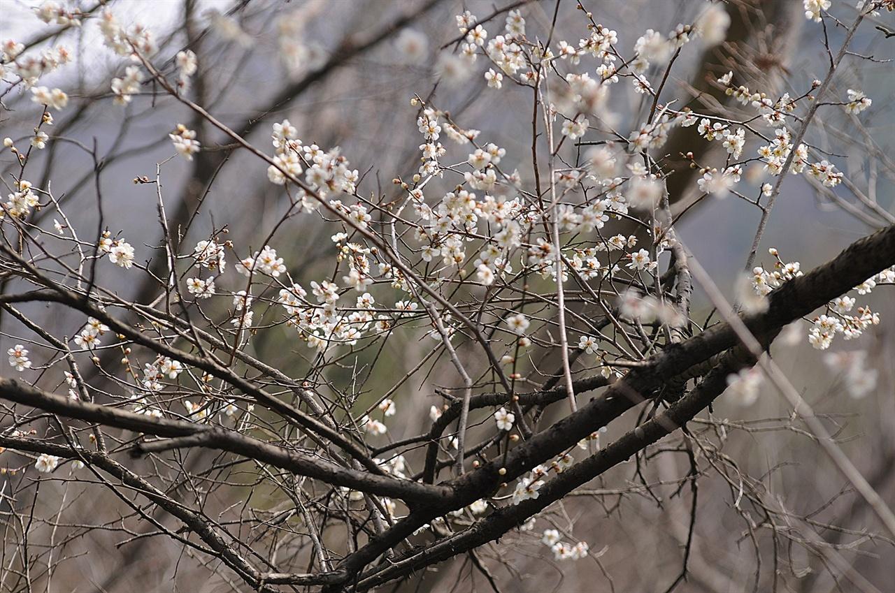 길상암 야매의 매화  수령 450년 된 매화나무에서 피는 매화는 화려하지 않지만, 그 꽃에는 역사가 담겨 있다.