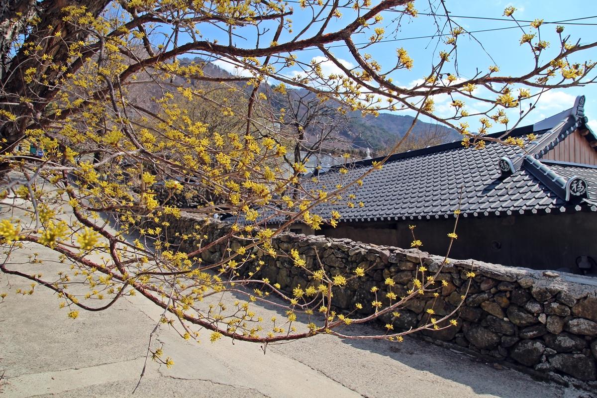 돌담위로 흐드러진 가지에 피어난 산수유의 노란 꽃들은 정말 곱다.