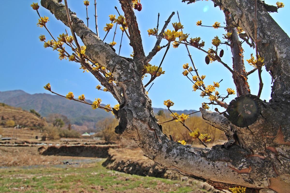 산수유 고목 나무에도 산수유 꽃이 피어난다.