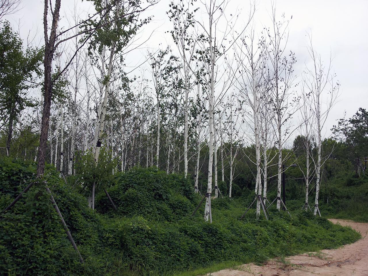 고양생태공원 자작나무 군락지