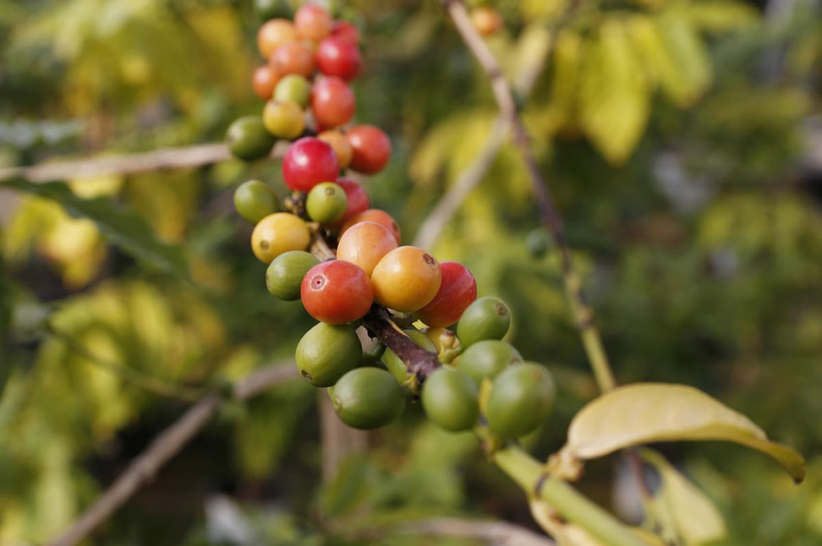 담양커피농장의 커피열매. 연녹색에서 진노랗게, 빨갛게 익어가는 모습을 볼 수 있다. 열매의 크기가 검지손가락 한 마디만 하다.