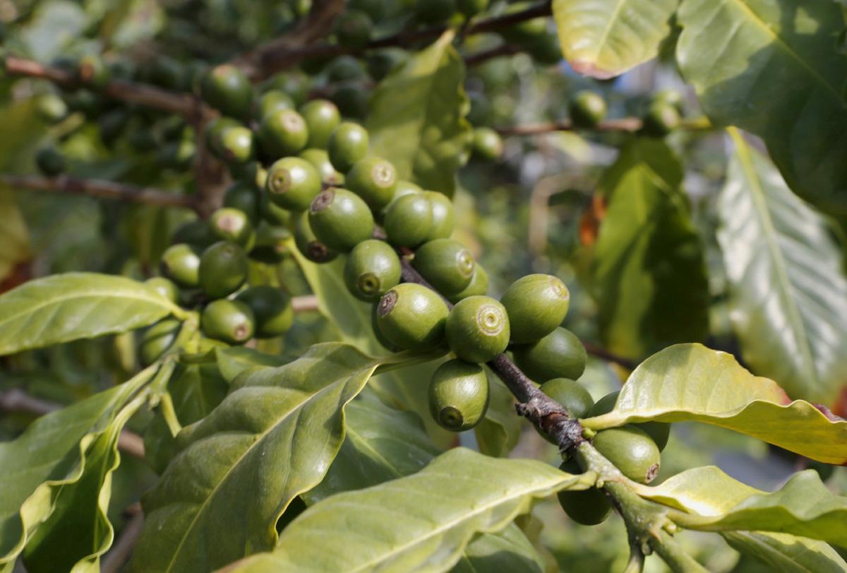 담양커피농장의 커피열매. 연녹색의 열매가 잘 익으면 달콤한 맛과 향이 묻어난다.