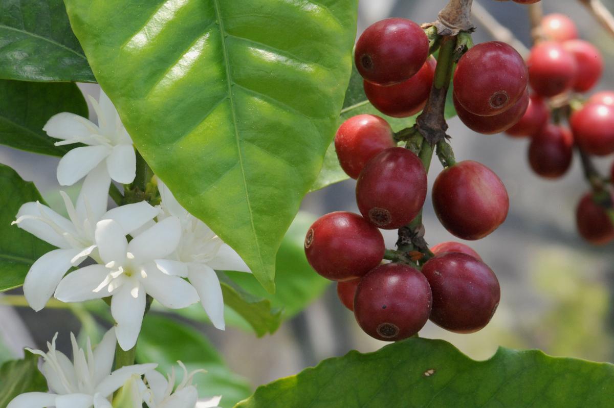 커피열매와 커피꽃. 순백의 커피꽃과 선홍빛으로 익은 열매가 어우러져 더욱 아름답다. 봄이 제대로 무르익을 무렵, 볼 수 있는 모습이다.