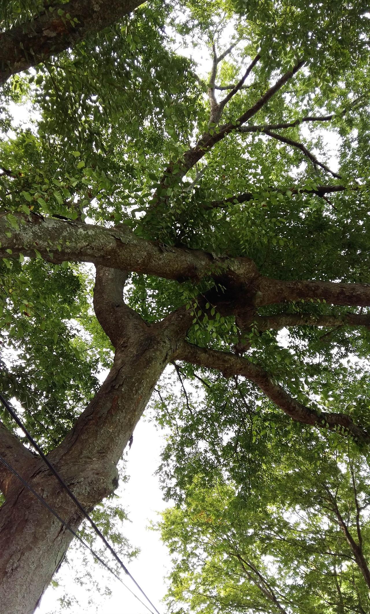 고마 마을 당산나무 연리지 연리지(連理枝 이을연·결리·나뭇가지지)는 말 그대로 뿌리가 다른 나뭇가지가 서로 엉켜 하나가 된 가지를 말한다. 고마 마을 사람들은 당산 할아버지와 할머니의 정이 깊어 하나가 되었다고 믿고 있다.
