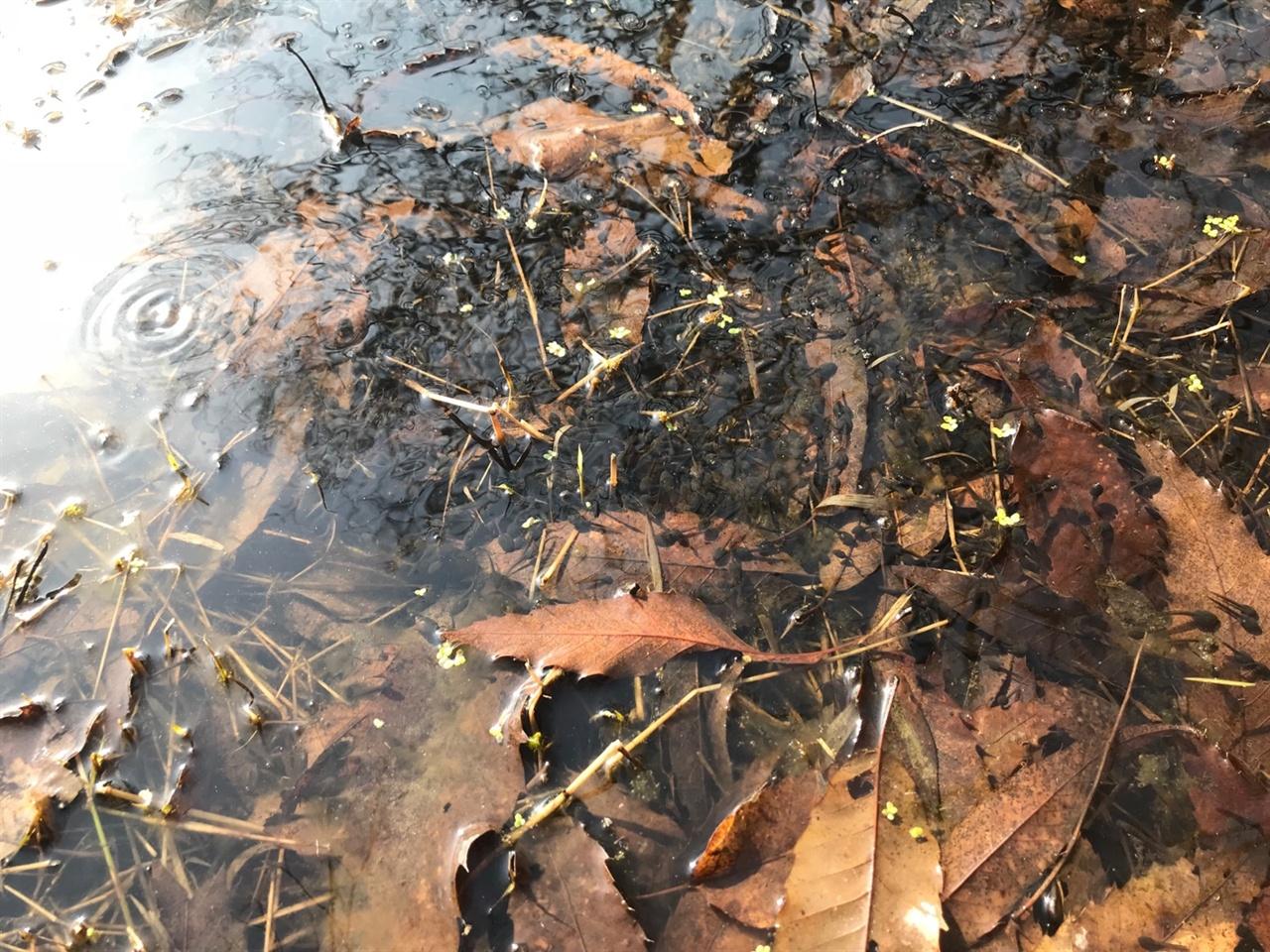 지난해 만들어 놓은 습지에 번식한 산개구리 올챙이들