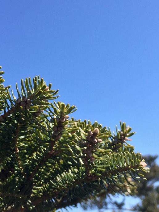 구상나무는 한라산, 지리산, 덕유산 일대에만 자생하는 우리나라 토박이 나무입니다. 학명조차 'Abies Koreana'이지요. 하지만 100여 년 전 구상나무의 가치를 알아본 윌슨이라는 식물학자에 의해 변종된 '아비에스 코리아나 윌슨'은, 이제 크리스마스트리로 유명해져 우리나라에서 조차 비싼 로열티를 내고 사야 하는 형국이 되었지요.