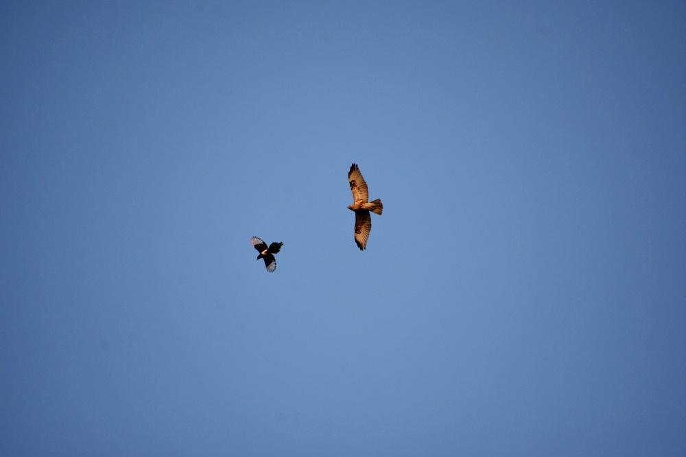 화원동산 하식애 창공 위에서 만난 말똥가리의 비행 모습이다. 까치를 쫓으며 놀고 있다. 까치와 함께 곡예비행을 선보였다. 말똥가리는 멸종위기 야생동물2급종으로 보호하고 있는 보호종이다.
