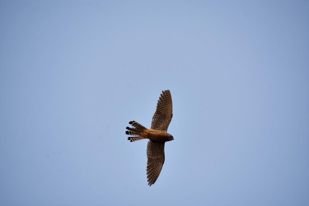 천연기념물이자 멸종위기종인 황조롱이가 화원동산 하식애 창공을 날고 있다.