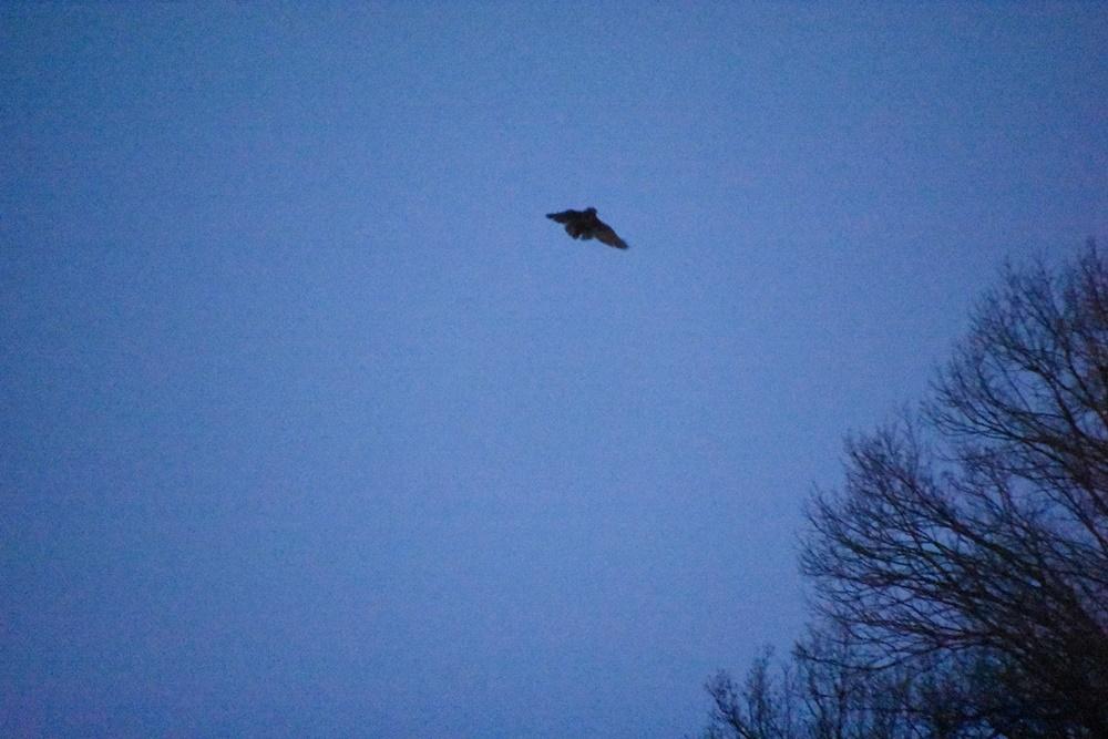 수리부엉이가 해가 진 직후 화원동산 하식애 둥지에서 날아오르고 있다