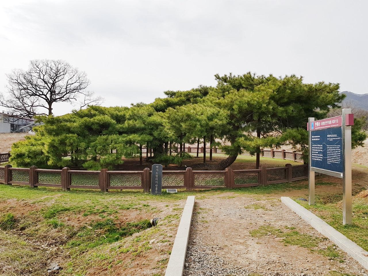 반룡송 이천시 백사면 도립리 201-11에 소재한 천연기념물 제381호 반룡송