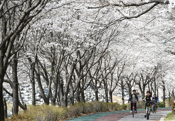 거창 건계정의 벚꽃터널.