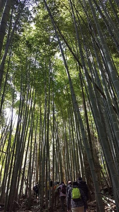 대나무와 삼나무가 어우러진 울울창창한 산길을 만날 수 있는 지쿠호·가와라 코스
