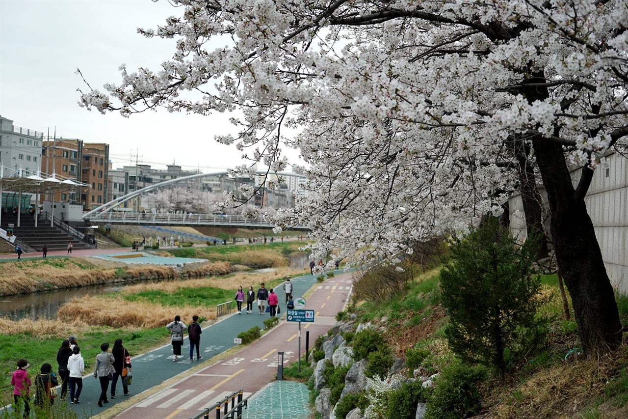 불광천 벚꽃길을 산책하는 시민들
