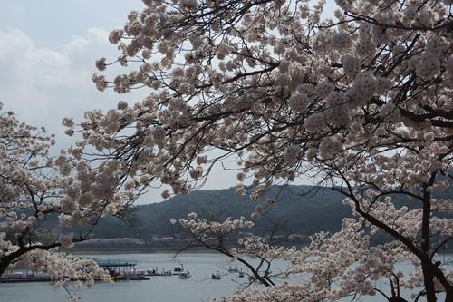 경주 보문관광단지 벚꽃 경주 보문관광단지 벚꽃