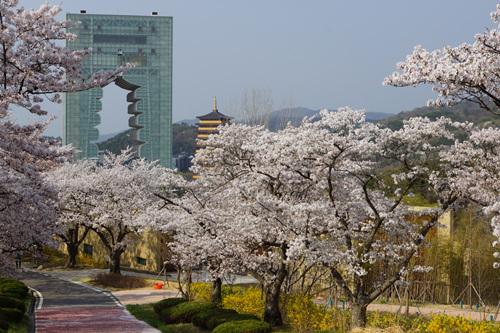 경주 보문관광단지 엑스포공원벚꽃 경주 엑스포공원벚꽃 경주의 벚꽃명소로 거듭났다.